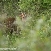 Lower Moor Farm Nature Reserve - Muntjac deer