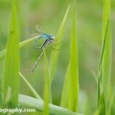 Lower Moor Farm Nature Reserve - Common Blue Damselfly