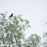 Lower Moor Farm Nature Reserve - Carrion Crow