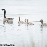 Lower Moor Farm Nature Reserve - Canada Geese
