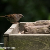 Lower Moor Farm Nature Reserve - Dunnock