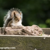 Lower Moor Farm Nature Reserve - Grey Squirrel