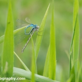 Lower Moor Farm Nature Reserve - Common Blue Damselfly