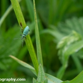 Lower Moor Farm Nature Reserve - Green Nettle Weevil