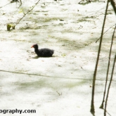 Potteric Carr - Moorhen chick