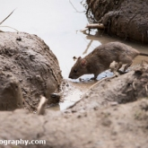 Potteric Carr - Brown Rat