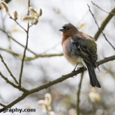 Potteric Carr - Chaffinch