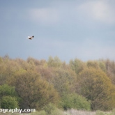 Potteric Carr - Marsh harrier
