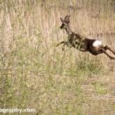 Potteric Carr - Roe Deer