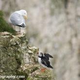 RSPB Bempton Cliffs - Puffin and Herring gull