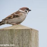 RSPB Bempton Cliffs - Tree Sparrow