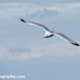 RSPB Bempton Cliffs - Herring Gull