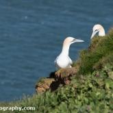 RSPB Bempton Cliffs - Gannet
