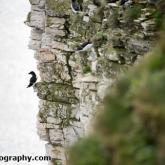 RSPB Bempton Cliffs - Razorbill