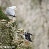 RSPB Bempton Cliffs - Puffin and Herring gull