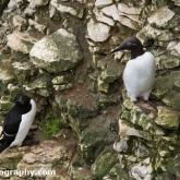 RSPB Bempton Cliffs - Bridled Guillemot