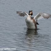 RSPB Ham Wall - Great crested grebe