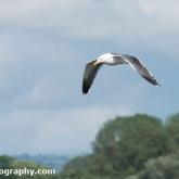 RSPB Ham Wall - Lesser Black-backed Gull