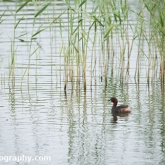RSPB Ham Wall - Little grebe
