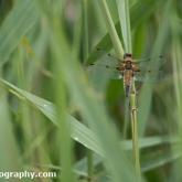 RSPB Ham Wall - 4 Spotted Chaser