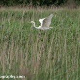 RSPB Ham Wall - Great white egret