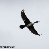 RSPB Ham Wall - Cormorant