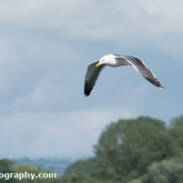 RSPB Ham Wall - Lesser Black-backed Gull