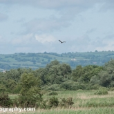 RSPB Ham Wall - Marsh harrier