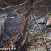 April 16th - Woodpigeon on nest