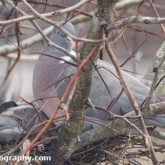 April 23rd - Woodpigeon on nest with squab