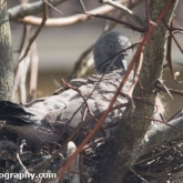 April 23rd - Squab preening