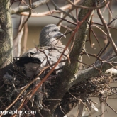 April 23rd - Squab on nest alone
