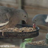 Woodpigeon feeding