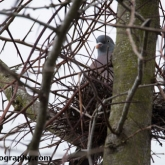 April 16th - Woodpigeon on nest