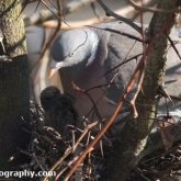 April 17th - Woodpigeon on nest with squab