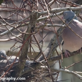 April 23rd - Squab on nest with parent nearby