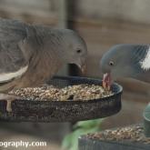 Woodpigeon feeding