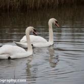 Mute Swan at Far Ings Nature Reserve