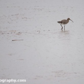 Curlew at Waters' Edge Country Park, Lincolnshire