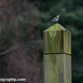 Pied Wagtail at Willingham Woods, Lincolnshire
