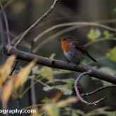 Robin at Waters' Edge Country Park, Lincolnshire