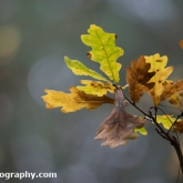 Oak Leaves at Willingham Woods, Lincolnshire