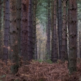 Pine Trees at Willingham Woods, Lincolnshire