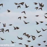 Starlings at Donna Nook Nature Reserve, Lincolnshire