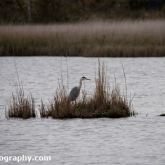 Grey Heron at Far Ings Nature Reserve