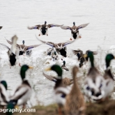 Mallard at Waters' Edge Country Park, Lincolnshire
