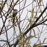 Long-Tailed Tit at Far Ings Nature Reserve