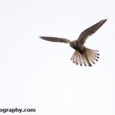 Kestrel at Waters' Edge Country Park, Lincolnshire