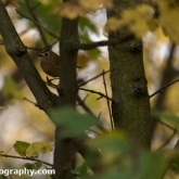 Goldcrest at Waters' Edge Country Park, Lincolnshire