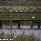 Kittiwake at Waters' Edge Country Park, Lincolnshire